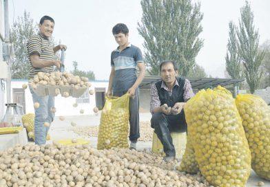 Грецкие орехи – это сокровище для жителей уезда Учтурфан